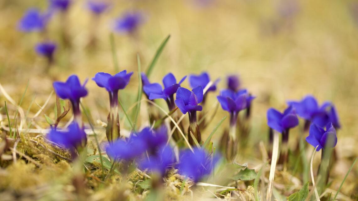 Der Frühlings-Enzian