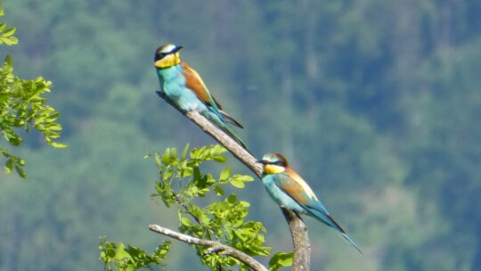 Die Papageien vom Kaiserstuhl